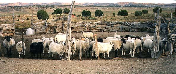 Flock of Navajo-churro sheep in corral at home of Edith Simonson ...